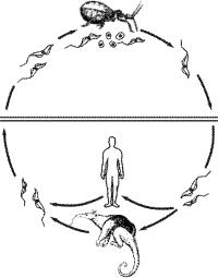 Схема жизненного цикла возбудителя болезни Чагаса