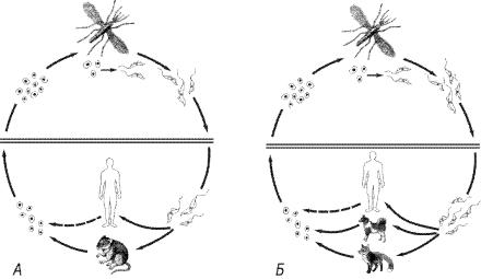 Схемы жизненных циклов возбудителей кожного и висцериального лейшманиозов