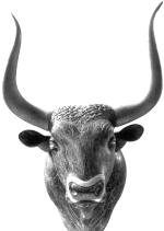 Голова быка.